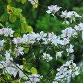 Tác dụng chữa bệnh không ngờ của hoa ban