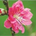 Hoa chơi tết đều là vị thuốc quý